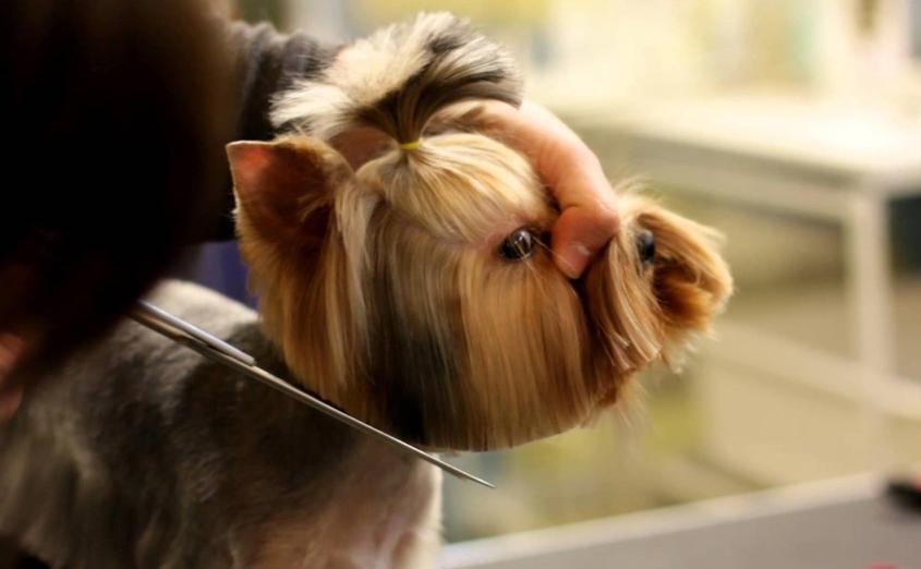 Как в домашних условиях подстричь ножницами йорка